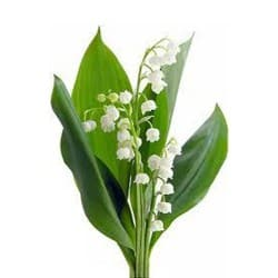 Réglementation : la vente du muguet par les particuliers le 1er mai